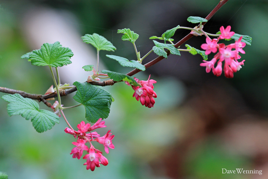 Red Flowering Currants Bearing Fruit